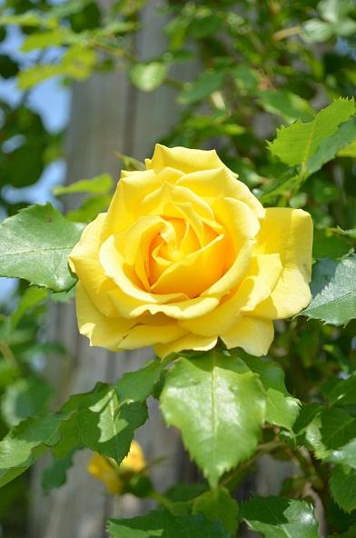 咲いているバラ