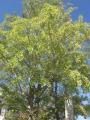 ラッパイチョウの木